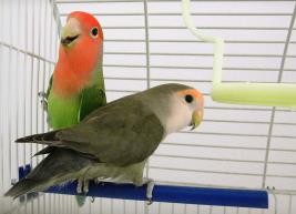 papiga naučiti govoriti
