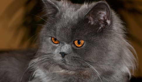 perzijska mačka