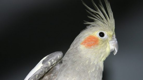 ptica nimfa