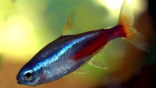 ribice neonke