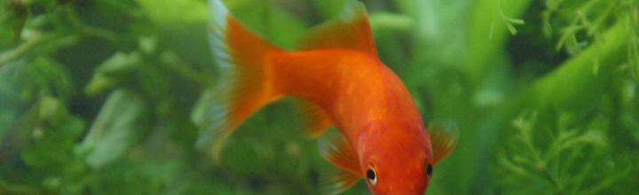 zlata ribica